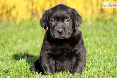 labrador retriever puppies price labrador retriever puppy
