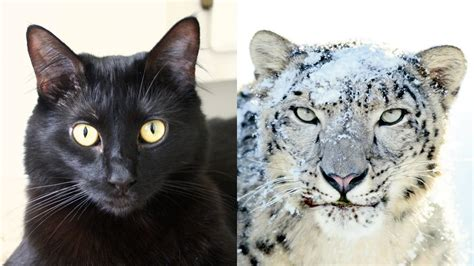 house cats house cats helping snow leopards youtube