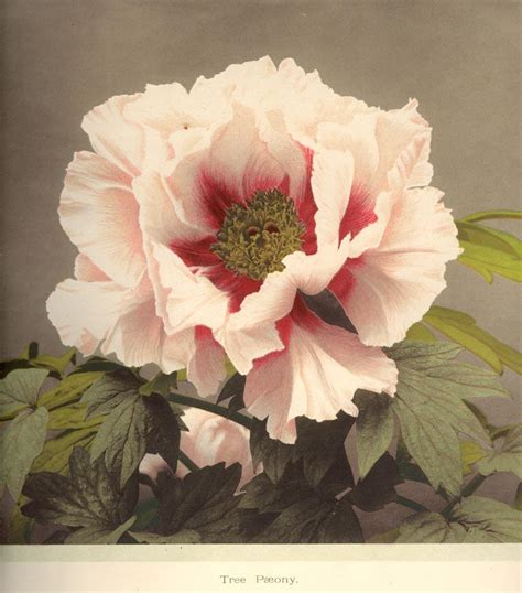 some japanese flowers collotypes 12 by k ogawa