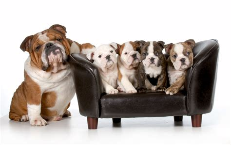 bulldog puppies for sale in az bulldog puppies available in tucson az