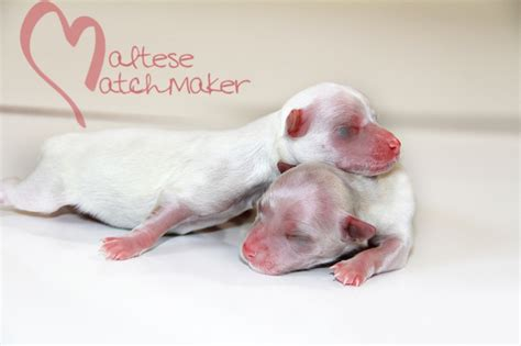 newborn puppies for sale newborn maltese puppies 187 maltese matchmaker