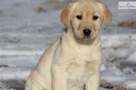 free lab puppies in michigan labrador retriever puppy for sale near grand rapids michigan 2bb8ed70 1061