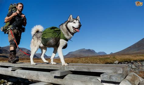 best hiking dogs the best breeds for who like hiking pets4homes