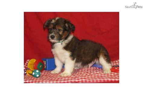 corgi poo puppies for sale corgi pembroke puppy for sale near east tx 185fc7a4 9a71