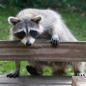 get rid of raccoons in backyard how to get rid of raccoons in the attic roof ceiling
