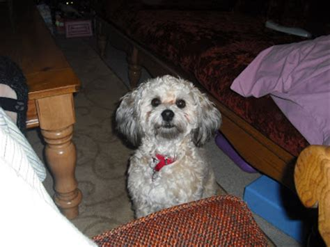 shih tzu with curly hair pets lost and found in fannin county tx