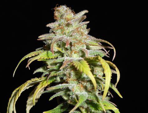The Harlequin harlequin cbd elev8 seeds