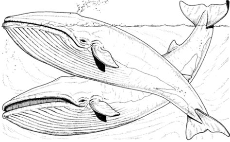 two blue whales in the sea coloring page supercoloring com