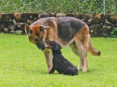 free doberman puppies free doberman pinscher puppies breeders pinschers breeds picture