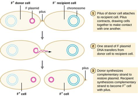how does dna determine a trait such as eye color conjugation of the f plasmid by openstax page 4 10