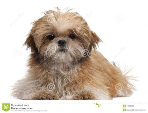 shih tzu 5 months het puppy shih tzu 6 maanden oud het liggen stock