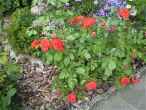 come curare le roselline in vaso la rosa la dei fiori come far fiorire le