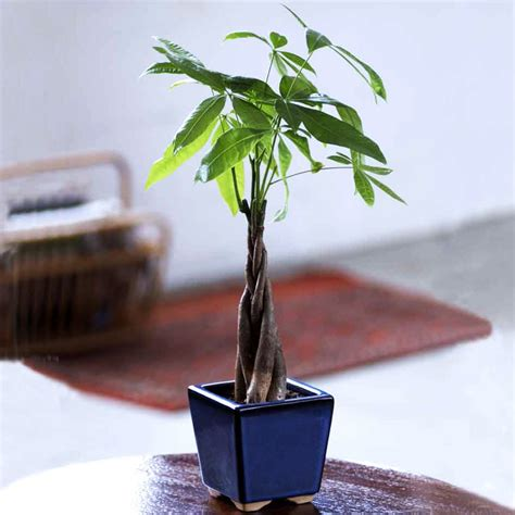 large braided money tree indoor office plants by braided money tree indoor office plants by plant