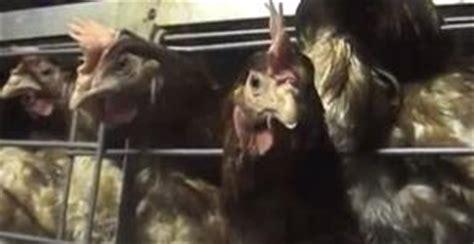 gabbie per galline ovaiole norma galline ovaiole bruxelles mette fuorilegge gli