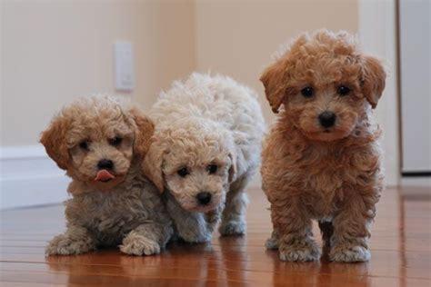 bichon poo puppies bichon poo puppies b e a utiful puppys