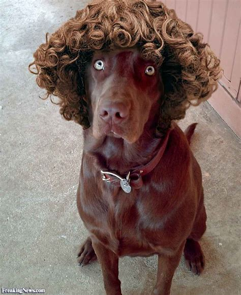 dogs with curly hair animal wigs pictures gallery freaking news