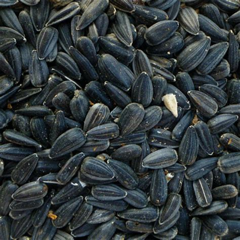 organic black sunflower seeds for chickens organic sunflower seed black whole 073 25lbs
