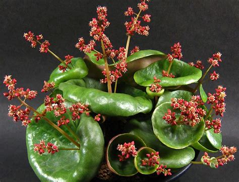 Crassula Umbella For Sale | 172 best images about crassula cotyledon on pinterest