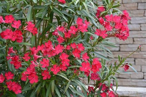 arbusti fioriti da giardino arbusti perenni piante da giardino conoscere gli
