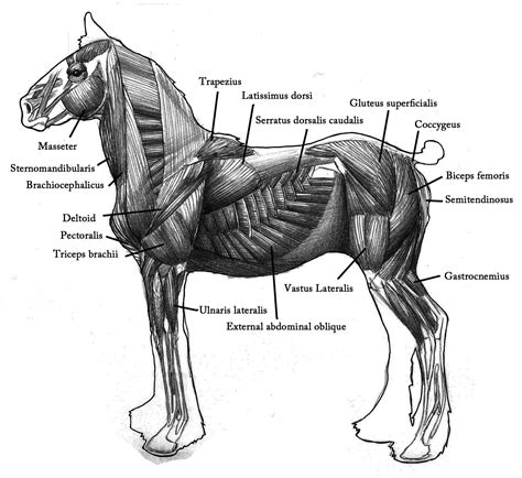horses muscles diagram i like the powerfull feeling that the silluette of a draft