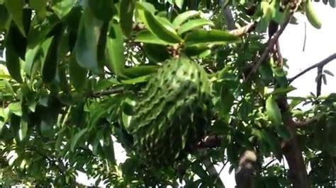 graviola tree fruit where to buy soursop graviola tree from botanical gardens