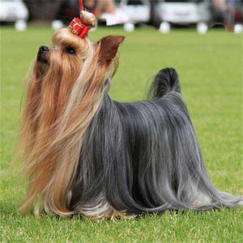 show yorkie yorkie haircuts