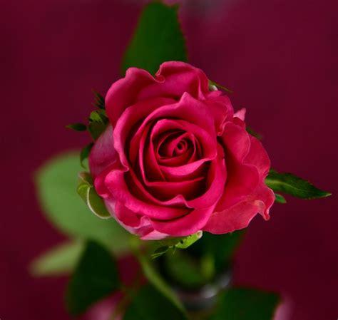 imagenes de rosas jpg foto gratis rosa flor flores flor rosa imagem gratis