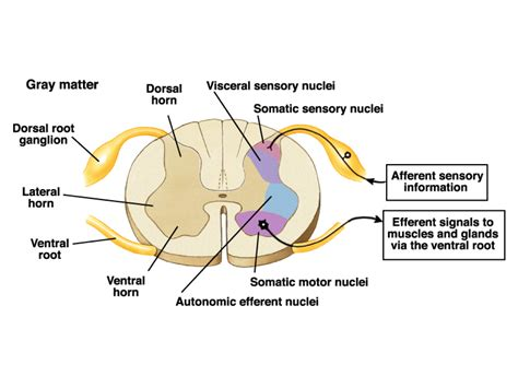 describe the cross sectional anatomy of spinal cord spinal cord cross section diagram anatomy organ