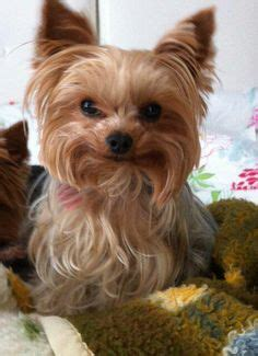 one yorki alive 1000 images about animals smiling on smiling animals smile and