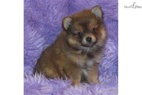 lavender pomeranian puppies for sale pomeranian puppy for sale near springfield missouri 809dc136 d9e1