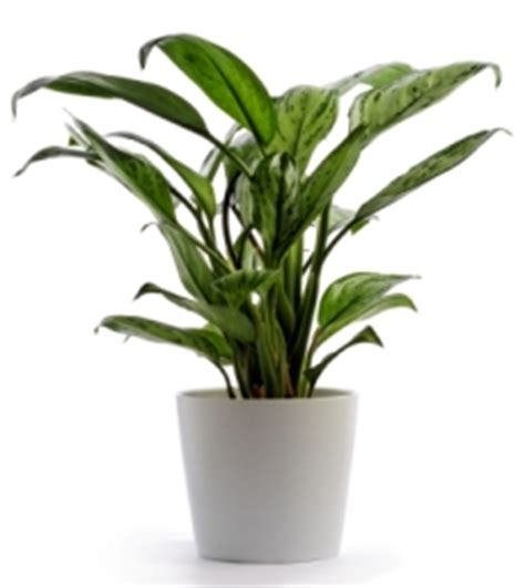 low light house plants chinese evergreen plant aglaonema hybrids picture care tips