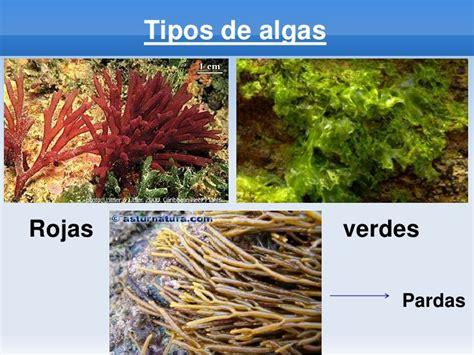 imagenes de algas pardas verdes y rojas las algas