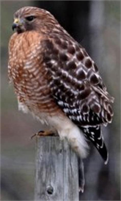 wisconsin red shouldered hawk survey