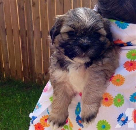 black shih tzu puppies for sale in florida shih tzu puppies for sale for sale in jasper florida classified