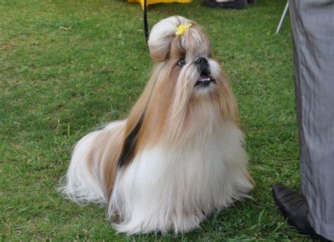 fotos de perros shih tzu cachorros shih tzu perros shih tzu razas de perros
