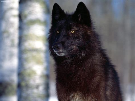 Black Wolves Result Of Long Ago Tryst With Dogs Howling Black Wolf American