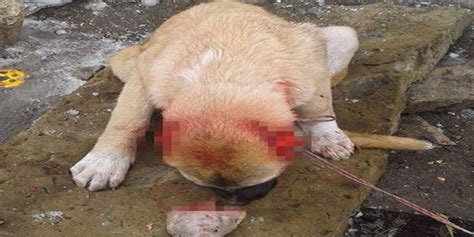rottweiler cut ears two in turkey cut a dogs ears for selfie india live today