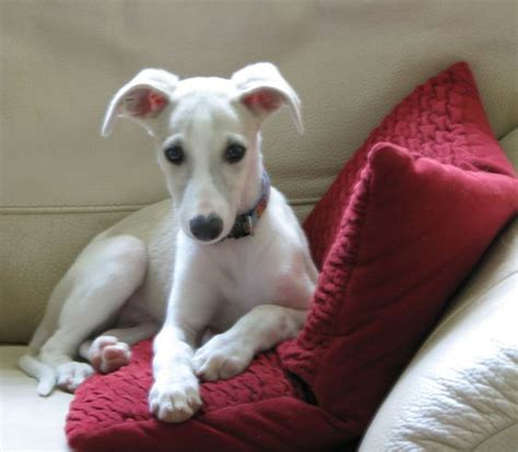 whippet puppies for sale in akc whippet puppies for sale four males and one born 4 1 14 contact
