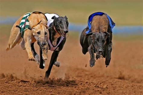 puppy race greyhound racing jerseygroovyfilms