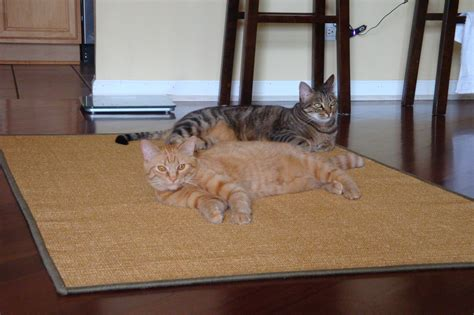 cat area rug cat poops on rug rugs ideas