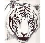 Tigre Blanco Por Mapinstein  Dibujando