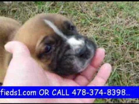 boxer bulldog mix puppies for sale boxer bulldog mix puppies for sale www petclassifieds1