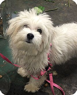 havanese rescue seattle adopted seattle wa maltese havanese mix