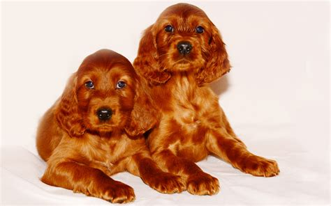 red setter dog temperament irish setter puppies breed information puppies for sale