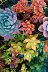colorful succulents 476 best images about succulents on