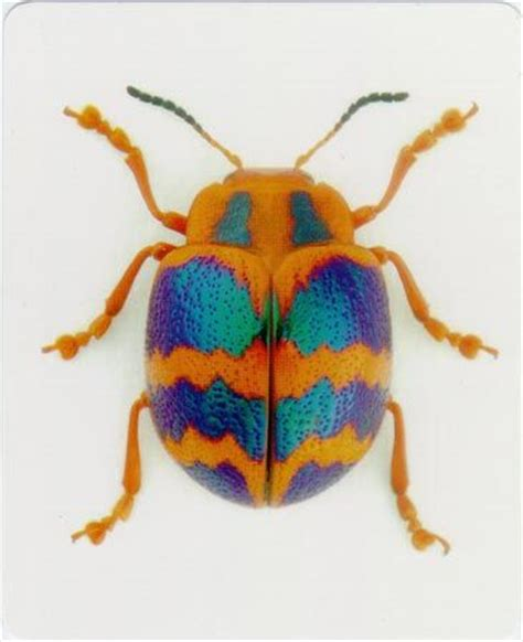 Amazing Beetles 17 best images about entomology on hawk moth leaves and malaysia