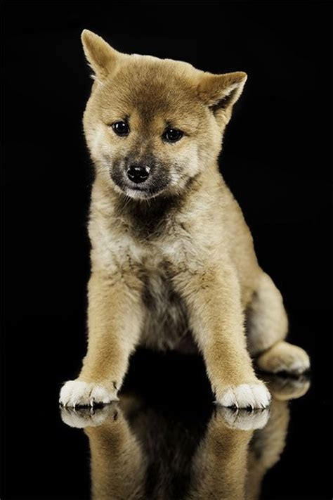 shiba puppy 1000 images about dogs on cesar millan cocker spaniel and