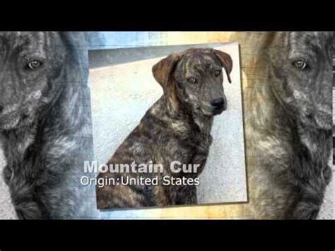 cur puppy mountain cur breed