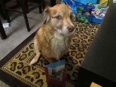 dachshund x golden retriever golden dox puppy rescue breeds picture