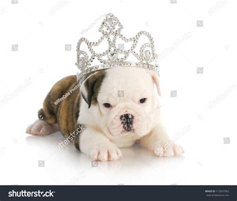 tiara puppy puppy princess bulldog puppy wearing tiara 6 weeks stock photo